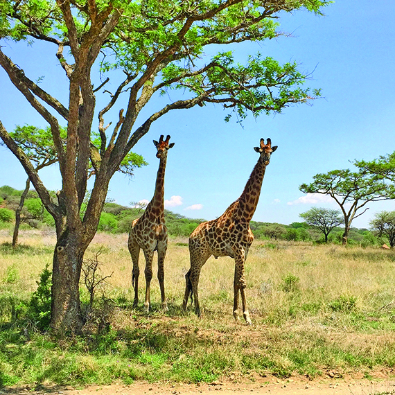 Giraffes spotted during Rovos Rail's Durban Safari.
