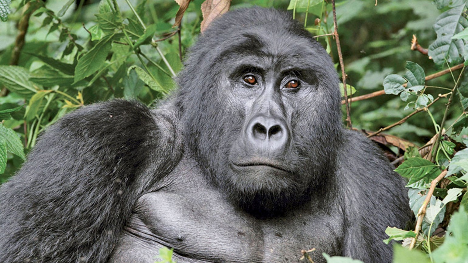 Volcanoes National Park in Rwanda expands gorilla habitat