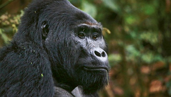 A mountain gorilla in Uganda