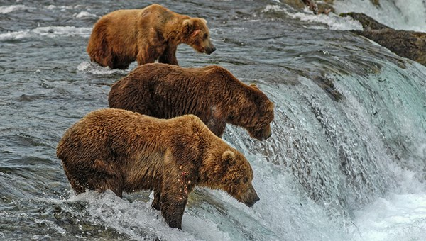 There are approximately 2,200 brown bears living in Katmai National Park.