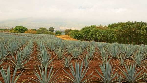 The blue agave fields of Jose Cuervo's Rojena distillery in Tequila, a 90-minute drive from Guadalajara. The extensive fields and industrial facilities in Tequila are a Unesco World Heritage site.