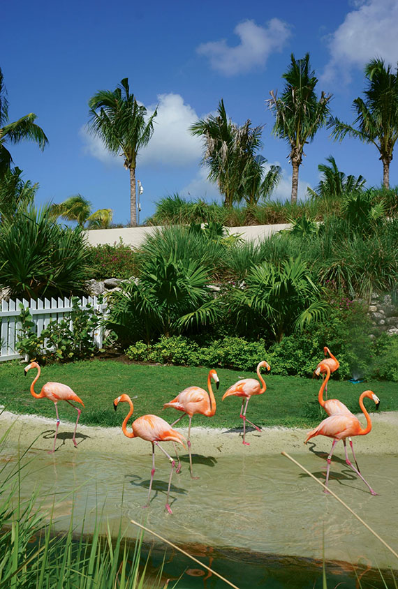 Baha Mar's Flamingo Cay introduces guests to the national bird of the Bahamas.