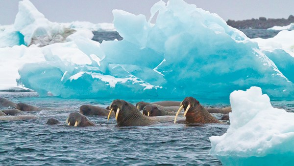 Guests will be able to spot walruses and other Arctic wildlife on a Lindblad Expeditions polar cruise.
