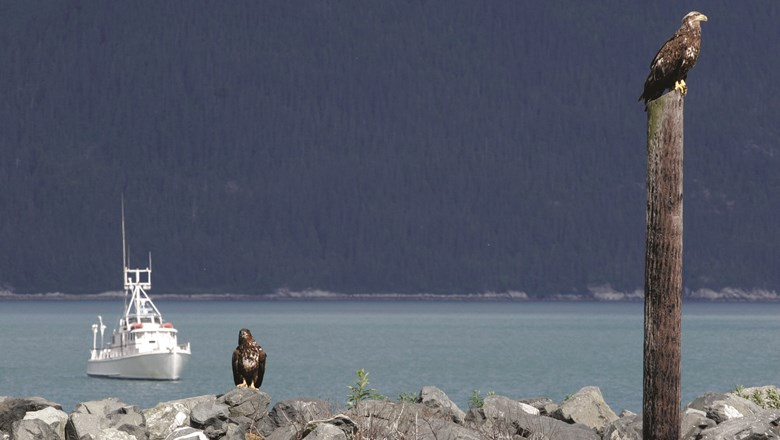 Young bald eagles in Haines, site of the annual Alaska Bald Eagle Festival.