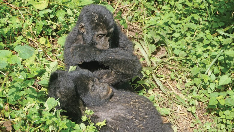 Young mountain gorillas spotted on a trek in Uganda.