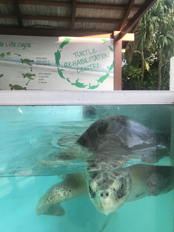 Lilly, one of several adult turtles with missing flippers who are cared for at the marine centers at the two Four Seasons resorts in the Maldives.