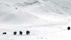 A tense bison encounter in Yellowstone