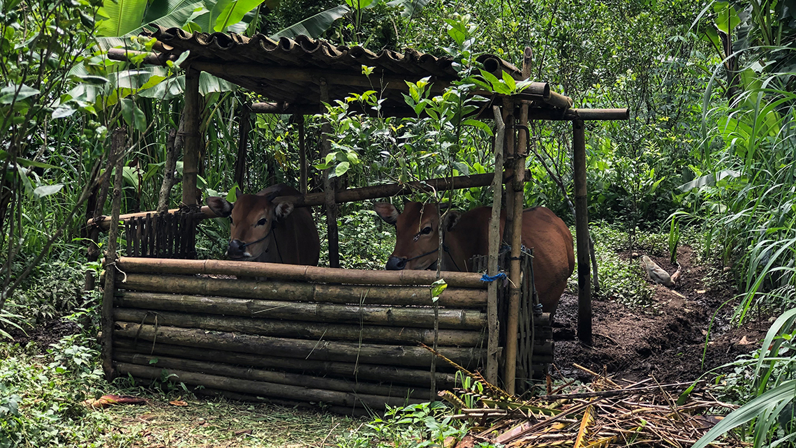 Cattle are kept in small pens on the farm in central Bali. Although like India, Bali is mostly Hindu, the diet differs in that many types of meat, including beef, are included in the cuisine.