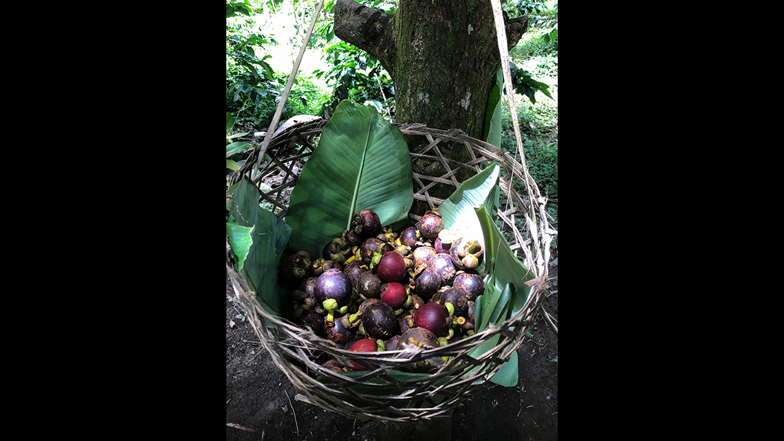 This basket of mangosteens was picked on a farm and rice plantation in central Bali. The white fruit inside is somewhat like citrus fruit. Mangosteens are rarely available in North America.