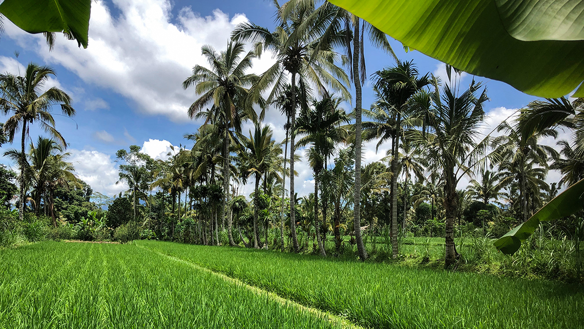 Most Indonesian farmers use high-yield rice varieties that grow fast and produce more than one crop a year. Rice indigenous to Bali produces a new crop in 9 months, a cycle recognized and celebrated in Hindu religious ceremonies.