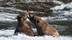 New Katmai bridge addresses bear-viewing concerns