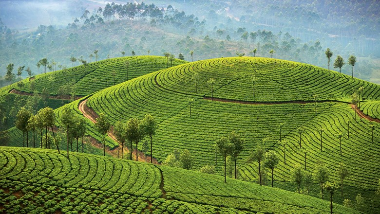 The concentric patterns of a tea plantation in the highlands of Kerala, where hill stations were established to beat the heat in the valleys.