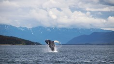 Humpbacks galore on Juneau shore excursion