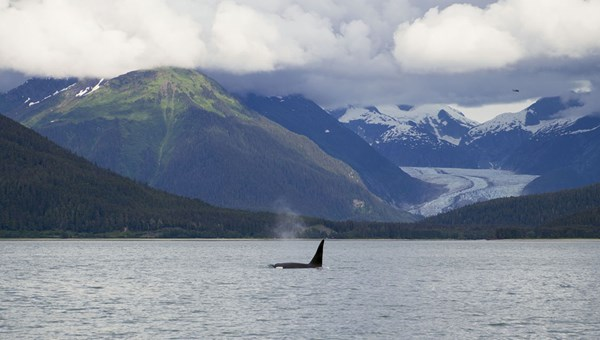 An orca spotted in Stephens Passage during a shore excursion in Juneau.