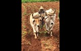 Oxen prepare a field for planting bananas in the Vinales Valley, west of Havana.