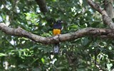 A greenback trogon in a tree near the banks of the Rupanuni.
