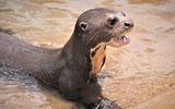 A six-month old giant river otter being cared for at Karanambu Lodge takes an exercise break in the Rupanuni River.