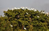 Great egrets -- and two storks -- rest in a tree on a lake near Karanambu Lodge.