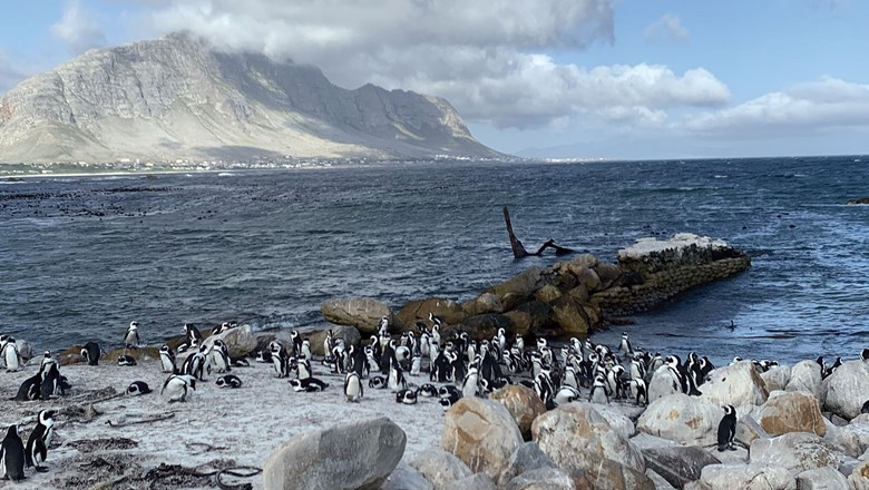 African Penguins at Betty's Bay on South Africa's Western Cape.