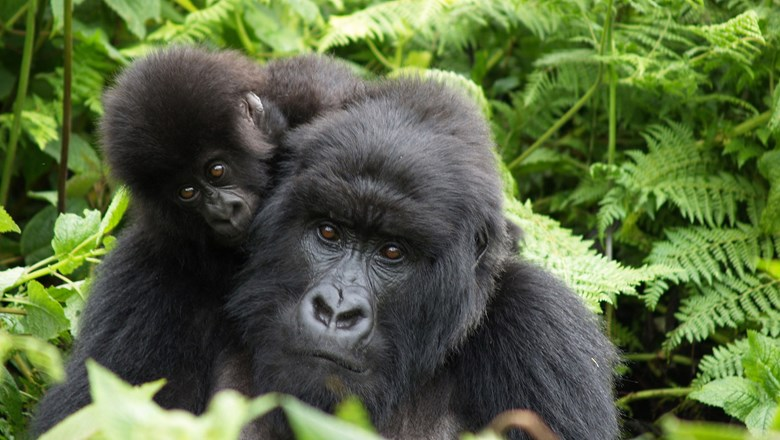 Gorilla trekking within Rwanda's national parks has resumed.