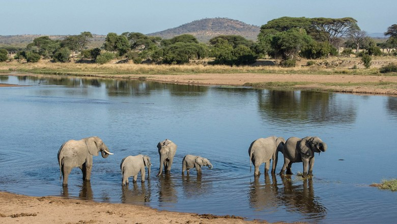 Elephants in Tanzania's Ruaha National Park. There are as many as 12,000 elephants moving through the park in a given year.