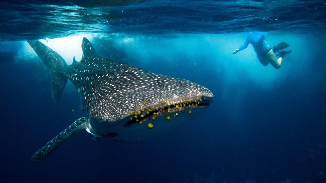 whale shark off Mafia Island [Credit: Massimiliano Finzi/Shutterstock.com]