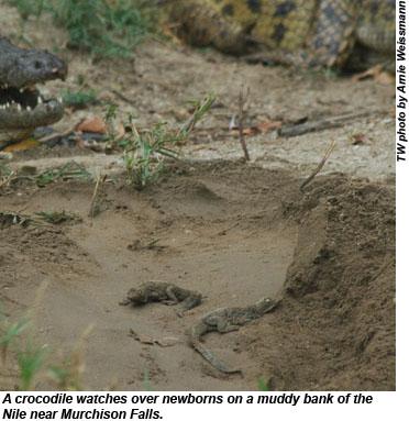 crocodile on the Nile
