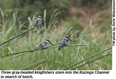 Three gray-headed kingfishers