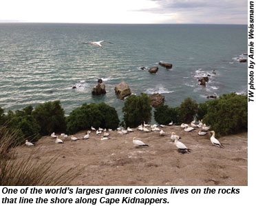 New Zealand Cape Kidnappers Gannets