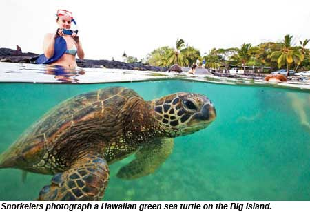 Snorkelers on the Big Island photograph a Hawaiian green sea turtle.