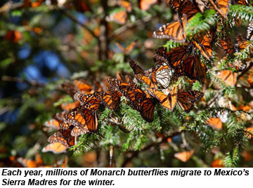 Monarch Gathering