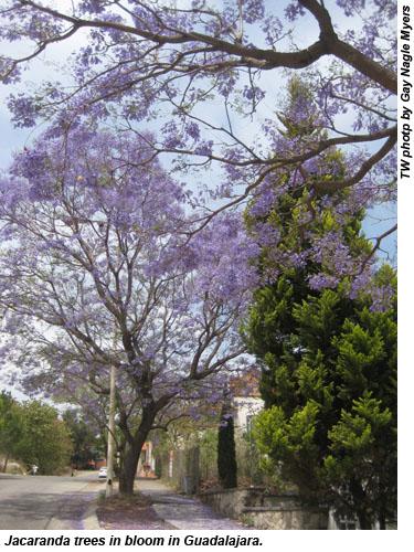 Jacaranda tree in Guadalajara