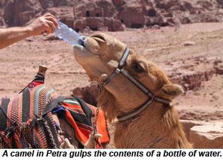 A camel in Petra, Jordan.