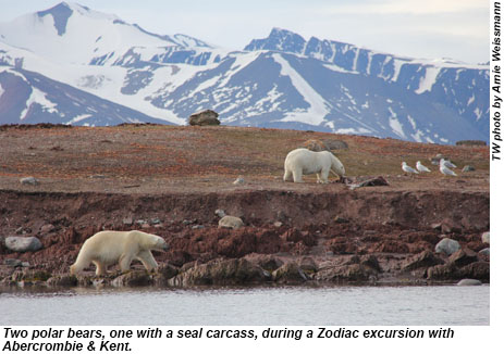 Two polar bears, one with a seal carcass, during an excursion with Abercrombie & Kent.