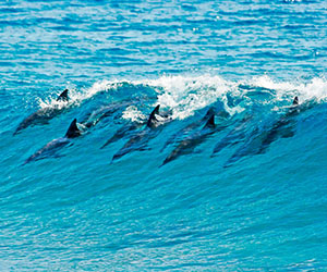 Dolphins-Mozambique300