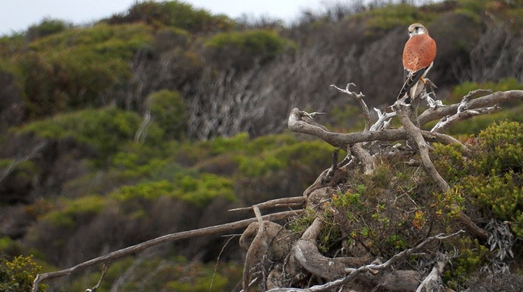 Kangaroo Island is home for over 260 species of birds. Here, a Nankeen Kestrel looks out over native bush covering the southwestern coast. More than a third of the island, which is home to fewer than 5,000 residents, is national park land while half is still covered in native vegetation.