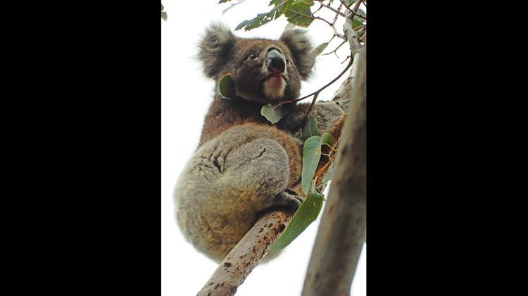 Although there is evidence that Koalas may have lived on Kangaroo Island thousands of years ago, the species had died out there by the early 20th century. The endangered creatures were reintroduced in the 1920s and have thrived ever since. In 2010, Kangaroo Island was home to more than 13,000. This wild koala snacks on leaves high up in a eucalyptus tree.