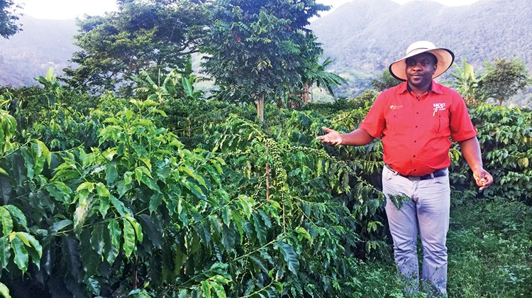 Guests can walk 10 minutes downhill to a Blue Mountain coffee plantation for a tour of how the coffee is grown.