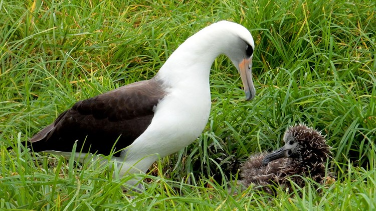 March and early April are a good time to see laysan albatross chicks on Kauai. This parent and little one were spotted on the Makai Golf Club in Princeville, which features several oceanfront holes on the island's north shore.