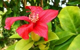 The McBryde Garden is home to the largest collection of native Hawaiian flora in the state, including endangered Kauai flowers like this native red hibiscus known as the Kokio.