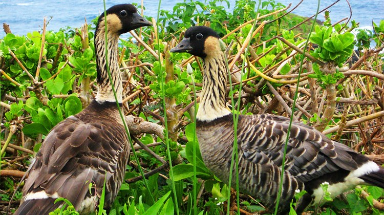 A rare sight throughout most of Hawaii, the Nene can commonly be seen across the North Shore of Kauai due, in part, to the Garden Isle's lack of introduced predators that prey on the bird's chicks elsewhere in the state.