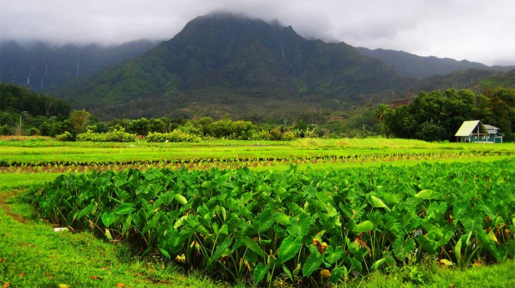 Hawaiian's have been cultivating taro in the Hanalei Valley on Kauai's North Shore for centuries. The staple crop is a rich component of Hawaiian ancestry stories and used to make poi.