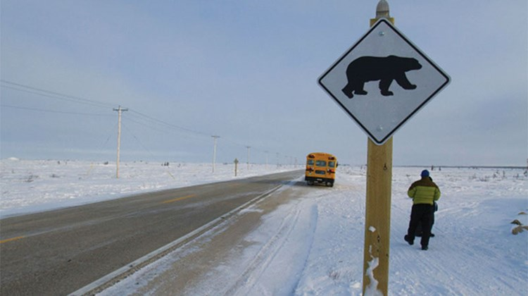 A polar bear crossing in Churchill.