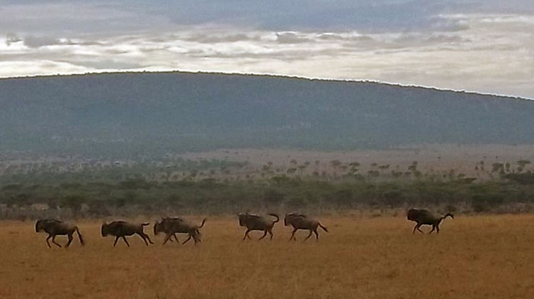 "Much of Kenya's tourism centers on its national parks and game reserves. While on safari, visitors are sure to spot at least one of the ""Big Five"" game species: lion, elephant, buffalo, rhinoceros and leopard. The Kenya Wildlife Service is charged with the conservation and protection of native flora and fauna. Pictured here, a herd of wildebeest in the Ol Kinyei Conservancy in the Maasai Mara. Photos by Kenneth Kiesnoski; posted May 8, 2012."