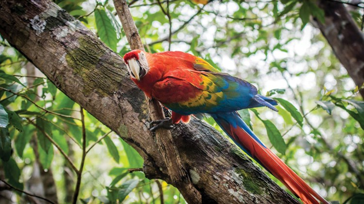 A Macaw, the first sight at the Juma Amazon Lodge.
