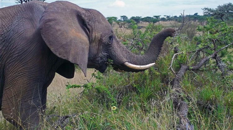 An elephant forages in the Ol Kinyei Conservancy.