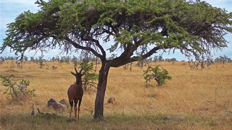 A topi, a species of antelope, takes cover from the sun under a tree in the Maasai Mara.