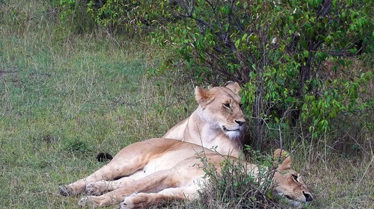 Two lionesses at rest in the Maasai Mara National Reserve.