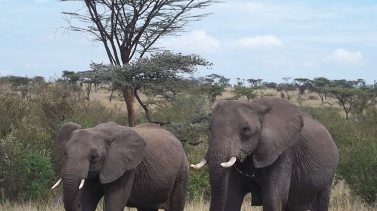 Two elephants roam the Ol Kinyei Conservancy.