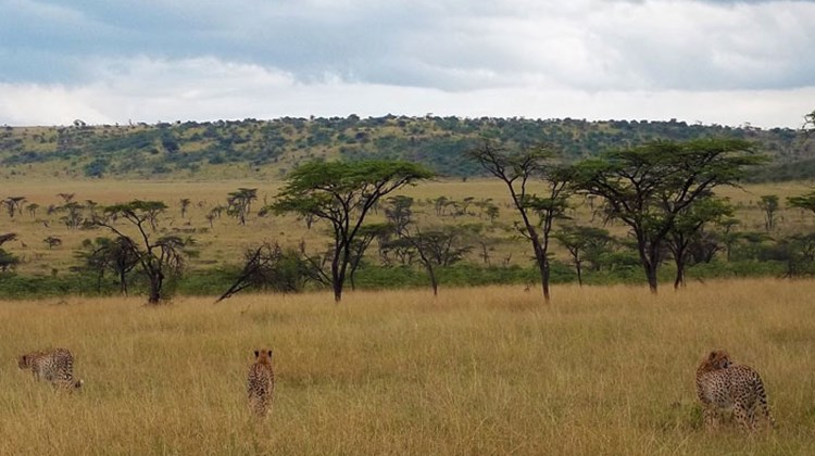 Three related male cheetahs prowl grasslands in the Olare Orok Conservancy.